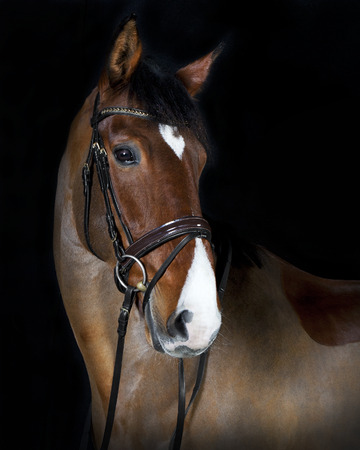 German riding horse in studio portrait, black background