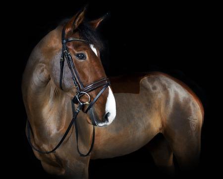 German riding horse in studio portrait, black background Reklamní fotografie - 36202427