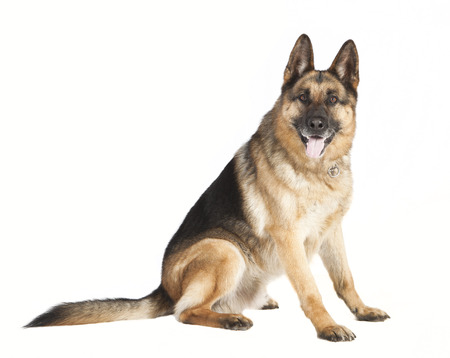 a German Shepherd dog sitting in front of white background