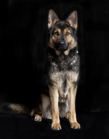 a German Shepherd sitting in front of black background, studio portrait Stock Photo