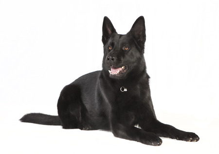 a black Shepherd Dog is situated against white background, studio portrait photo