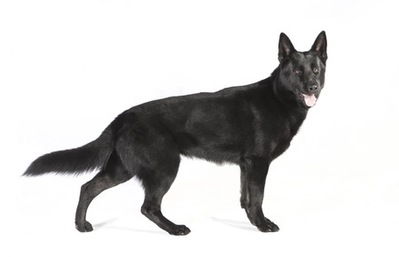 a young black Shepherd Dog sitting in front of white background, studio portrait
