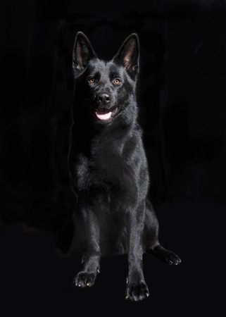 a young Shepherd Dog sitting in front of black background, studio portrait Imagens