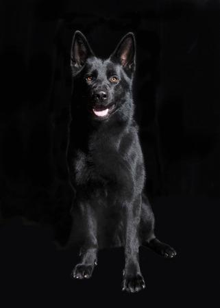 Un perro joven pastor sentado delante de fondo negro, retrato de estudio