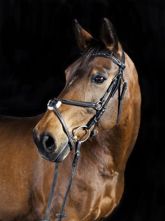 Studio Portrait einer braunen Oldenburg Sportpferd mit schwarzem Hintergrund