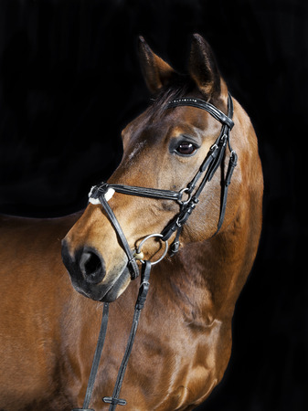 Studio portrait of a brown Oldenburg sport horse with black background Stockfoto