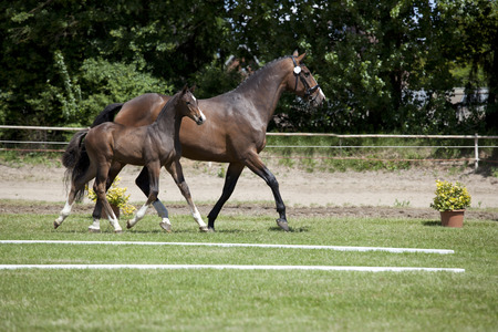 sales event: a small brown Warmblood foal with broodmare at a sales event