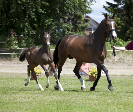 warmblood: a small brown Warmblood foal with broodmare at a sales event
