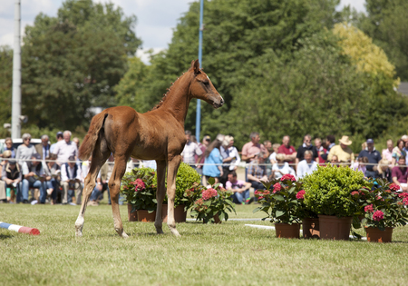 a sporty brown foal is presented spectators at auction