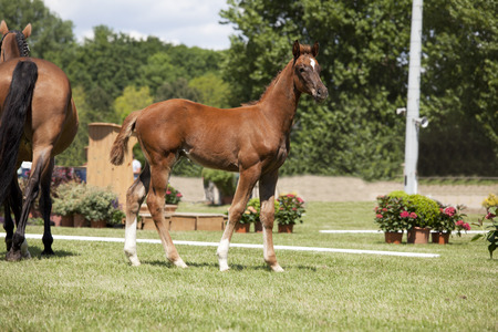 mare and foal: a sporty brown foal standing next to a mare is offered for sale at auction Stock Photo