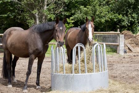 haycock: brown Holsteiner horses standing on a hay rack and eat hay