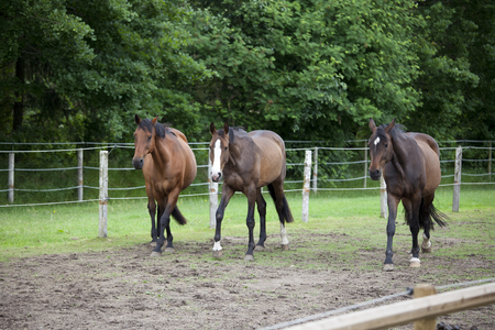 warmblood: three brown Holsteiner Warmblood horses running on a pasture