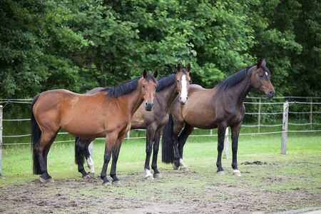 warmblood: three brown Holsteiner Warmblood horses standing in a pasture