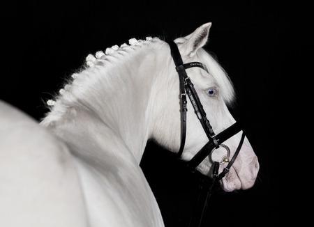 black and white farm animals: German white pony bridle against a black background, portrait