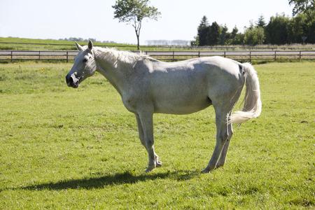 yegua: una vieja yegua Holsteiner blanco de pie en un pastizal