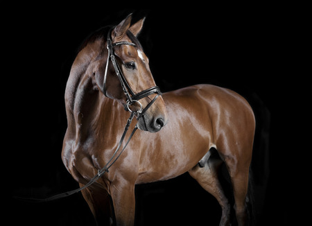 warmblood: Brown Hungarian Warmblood horse with bridle in studio against black background
