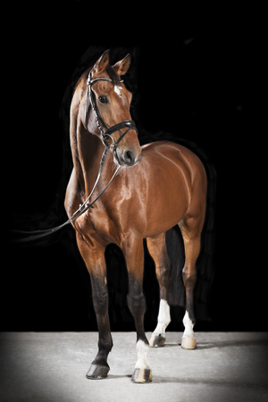 Brown Hungarian Warmblood horse with bridle in studio against black background