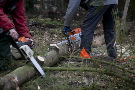 timber harvesting: a spruce is processed at a forest with a chainsaw to firewood Stock Photo