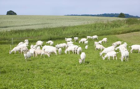 boer: a flock of white goats standing on a pasture Stock Photo
