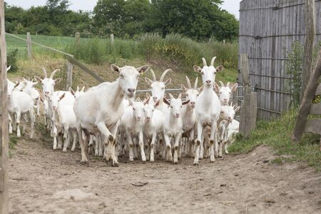boer: a herd of young white goat running on a path to stable