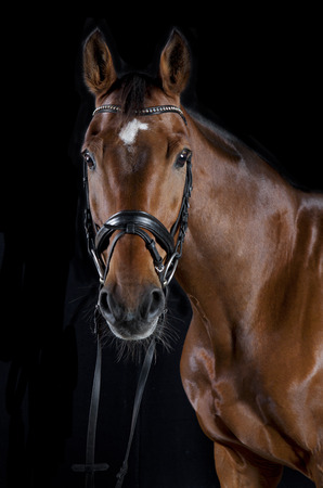 a brown horse head with bridle against black background Standard-Bild