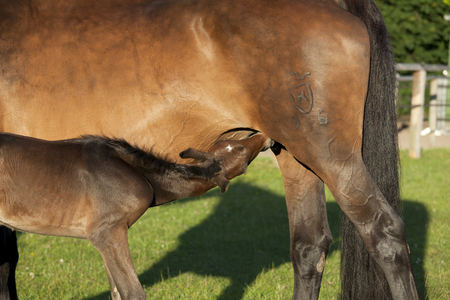 mare: a newborn foal drinks with his mother mare