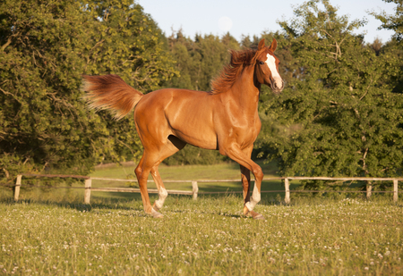 freely: a young Holsteiner chestnut mare running freely in a pasture Stock Photo