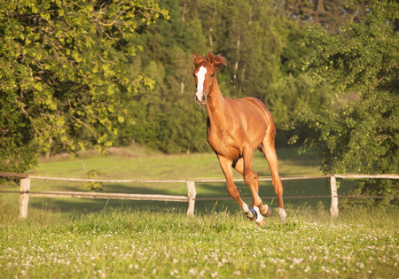 yegua: a young Holsteiner chestnut mare running freely in a pasture Foto de archivo
