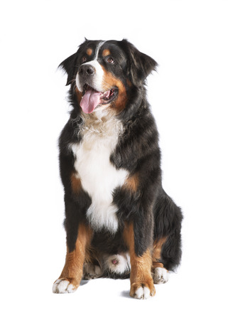 tongue out: a Bernese mountain dog sitting and looking up, background white, isolated Stock Photo