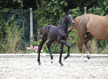 yegua: a brownish black foal trots behind the mare and looks