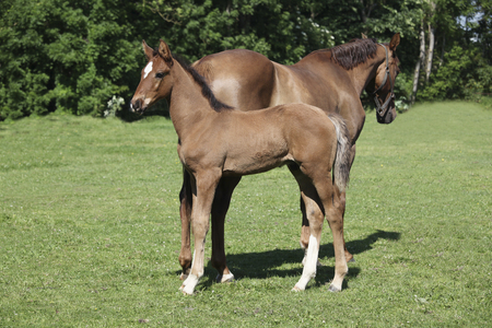 mare and foal: a brown foal standing next to his mother mare and looks