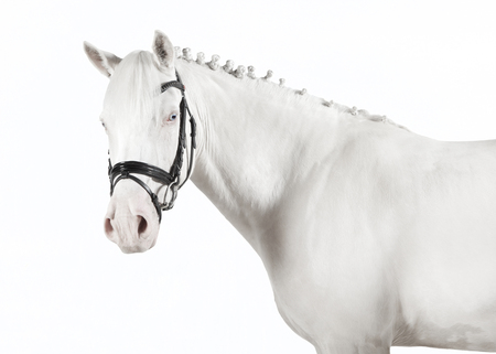 bridle: a white pony with bridle against white background