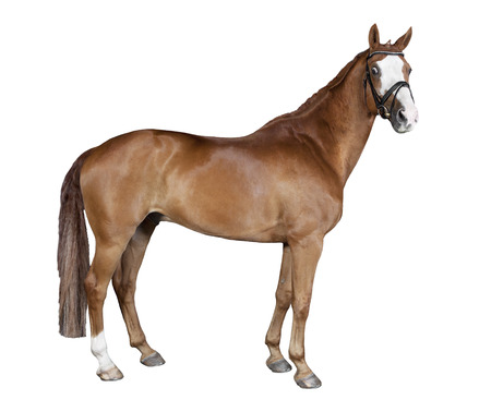 a brown horse with bridle in front of white background