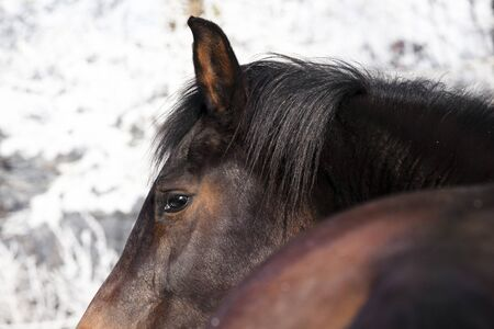 yegua: una yegua marrón Holstein en invierno en un sauce blanco