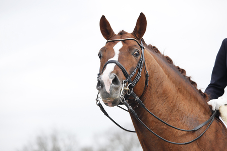 bridle: a brown horse head with a Double Bridle and reins