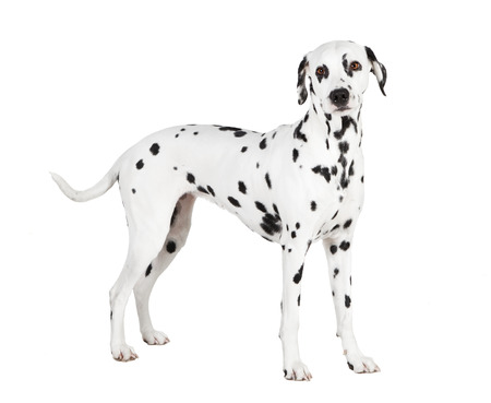 a standing Dalmatians against white background, isolated