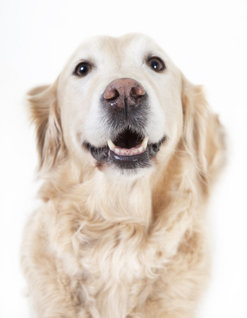 optional: a golden retriever dog looking with open mouth at the camera, background white, optional Stock Photo