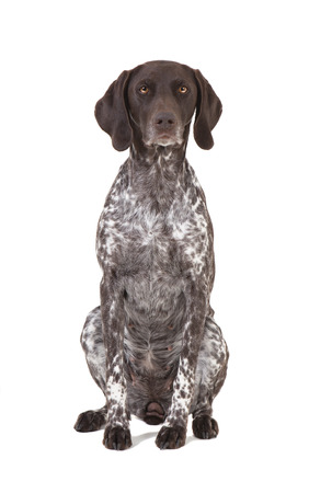 a hunting dog of the breed German shorthaired pointer sitting in front of a white background
