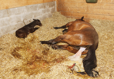 a brown mare shortly after birth with her foal in a horse box