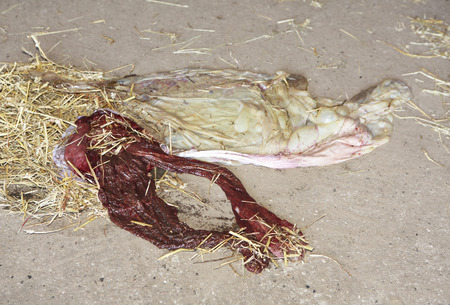 umbilical: the afterbirth of a horse spread on the floor in the barn with straw