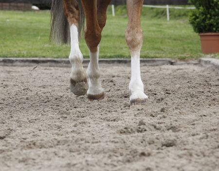trot: Horse legs trot on a modern riding arena floor