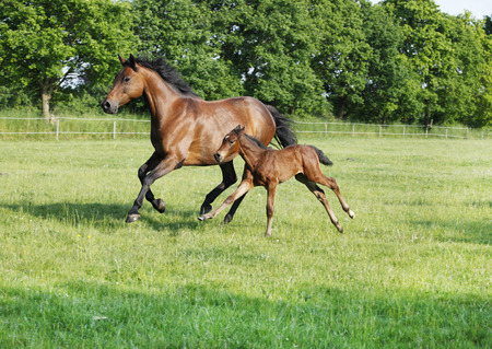 a brown mare with her foal gallops over the pasture