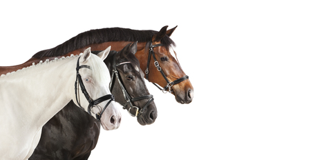 trakehner: different breeds of horses in front of a white background, isolated