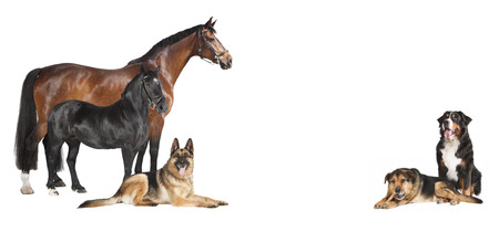several horses and dogs against a white background, isolated Stock Photo