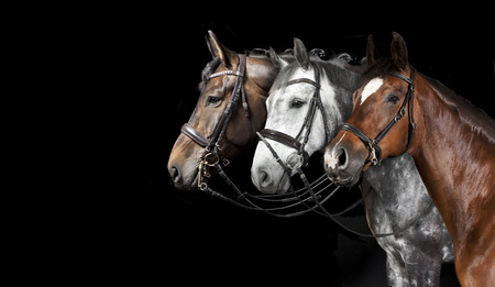 different horse with bridle against a black background