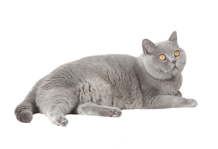 A gray British short-haired cat lying in front of white background, isolated Stock Photo