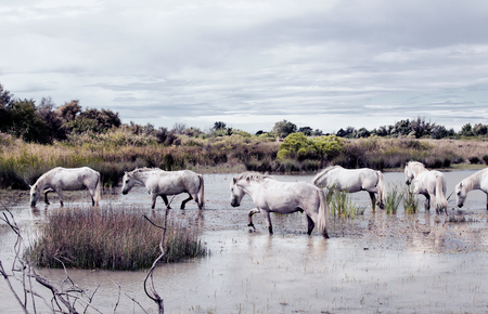 camargue: white wild horses in the Camarge landscape south of france Stock Photo