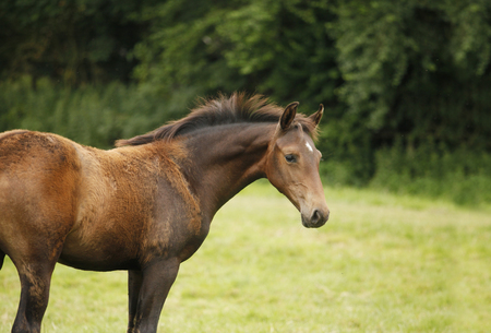 A brown young Warmblut foal loses the foal fur