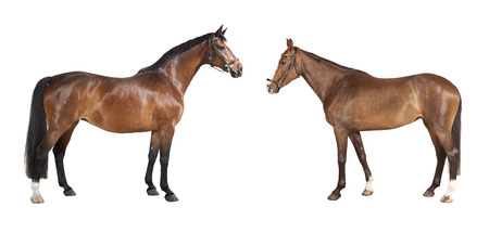Two brown riding horses with halter against white background, isolated