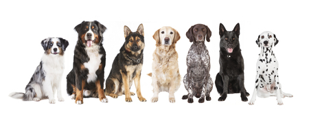 Many different dog breeds in front of white background, isolated Stock Photo